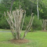 crape-myrtle-photo